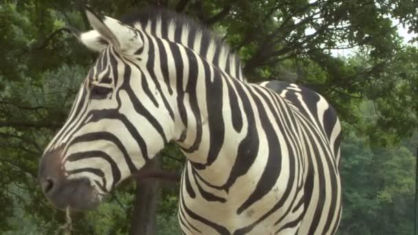 a zebra közelről