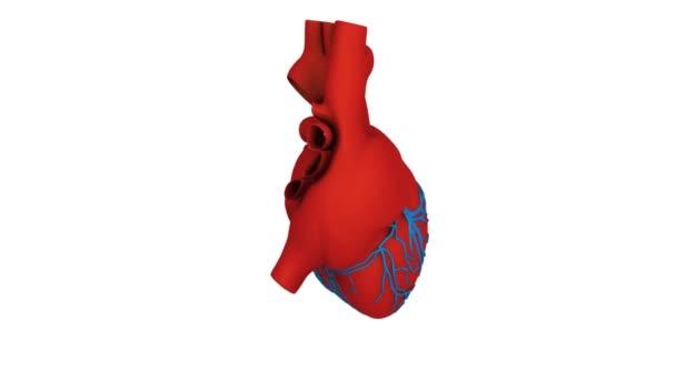 model srdce
