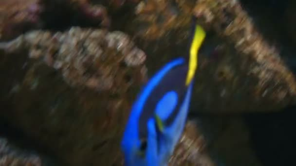 Světle modré tang na korálový útes
