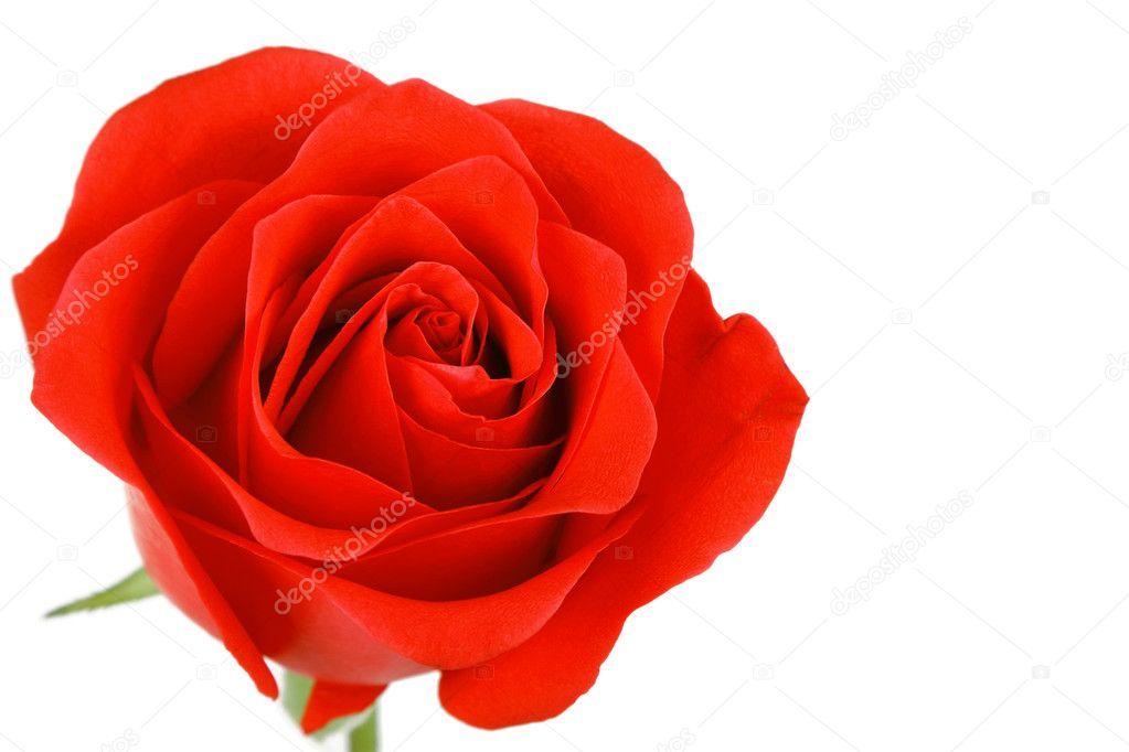 Single Red Rose Flower Stock Images: Single Red Rose Flower Isolated On White Background