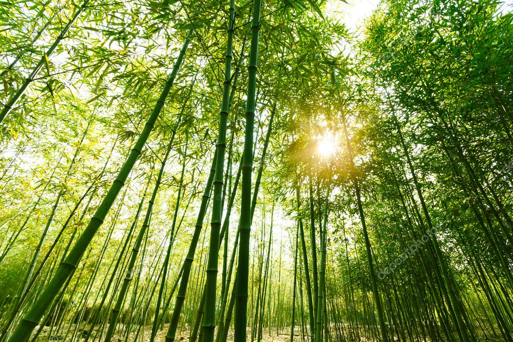 Bamboo forest,