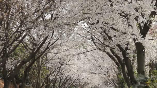 Cseresznyevirág, sakura