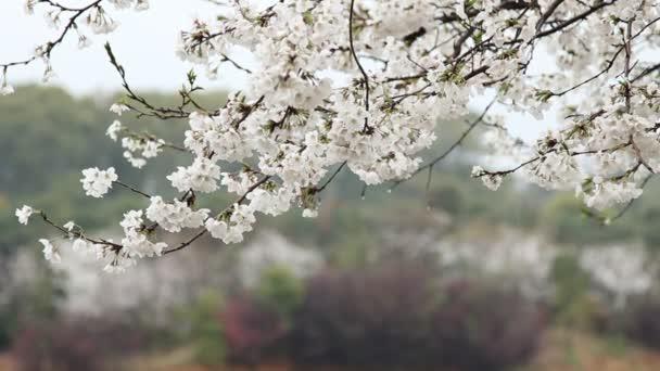 třešňový květ, sakura