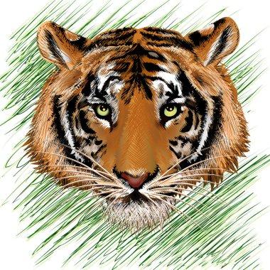 The tiger sketch