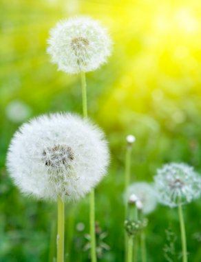 White dandelions on a green background