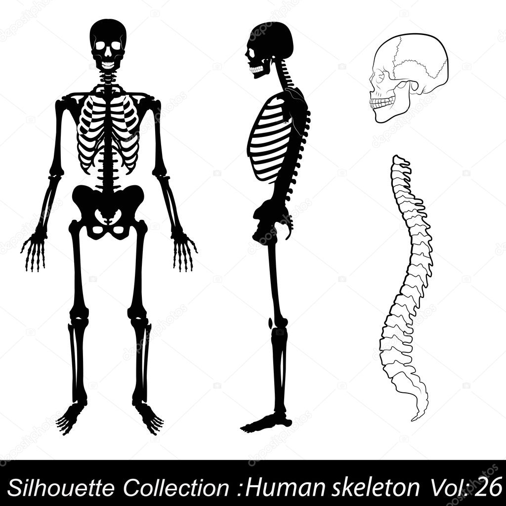 vector illustration: human skeleton — stock vector © catavic #18115197, Skeleton