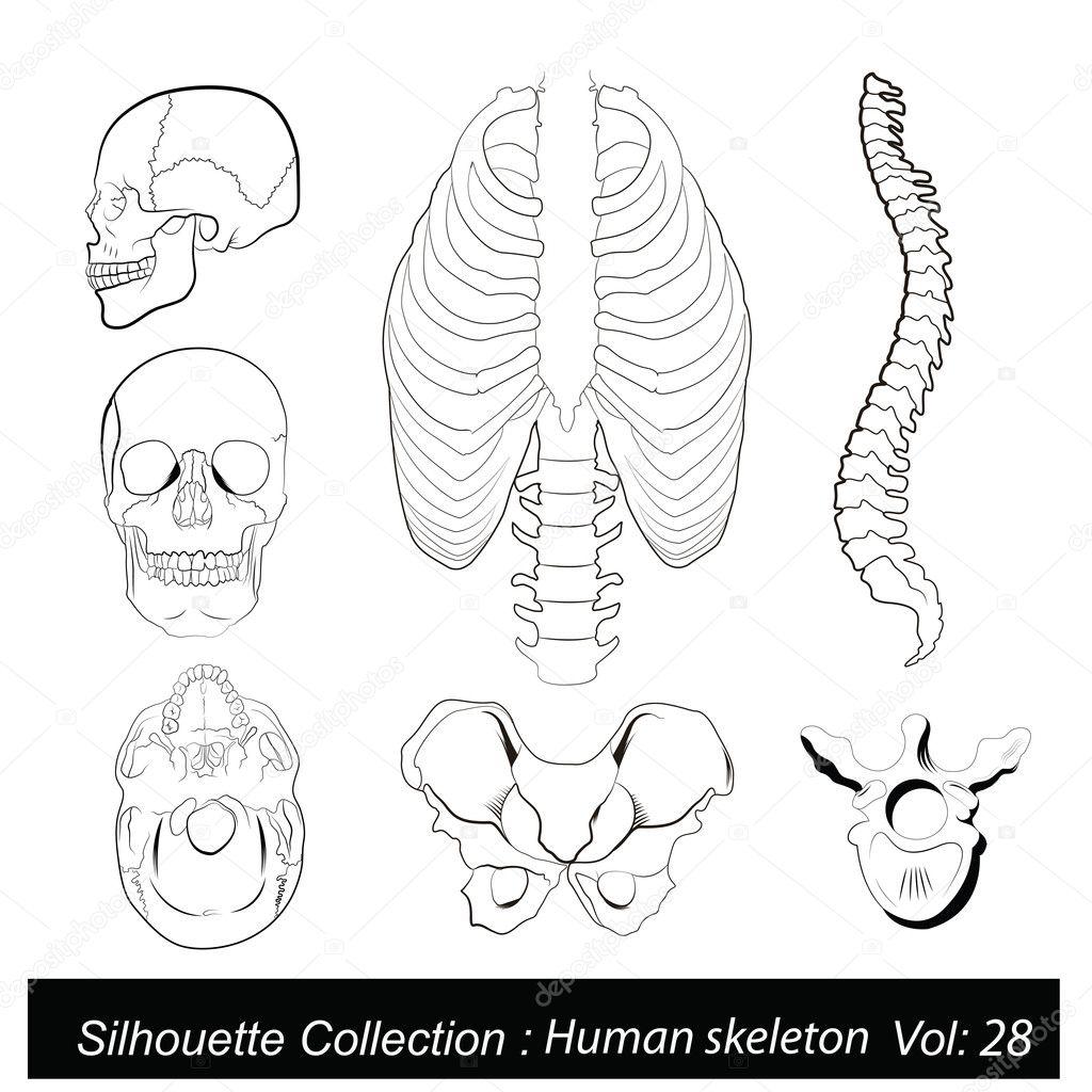 Vector ilustración: Esqueleto humano — Vector de stock © catavic ...