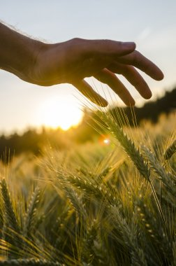 Male hand stroking wheat field.
