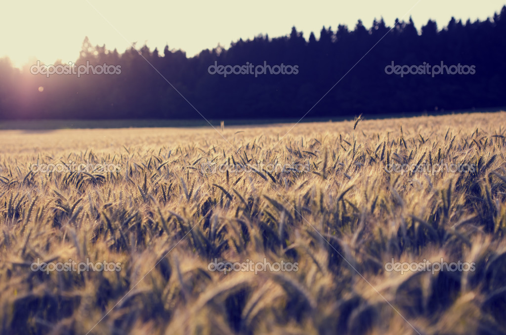 Sunrise over a field of ripening ears of wheat