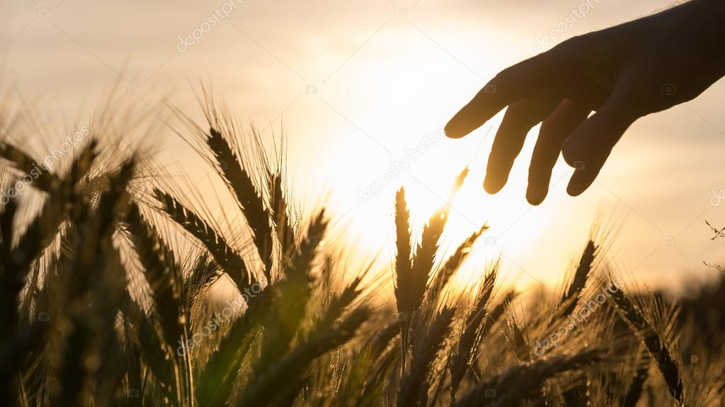 Hand of a farmer touching wheat field