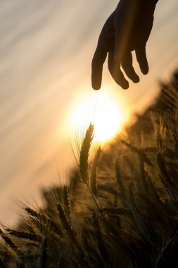 Dawn over a field of wheat and a hand silhouette