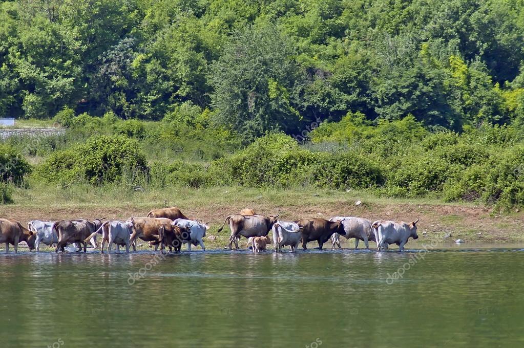 Kerkini lake, Cow herd.