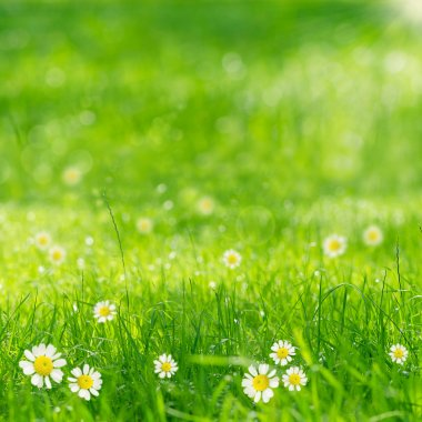 Green grass and daisies in the sunshine