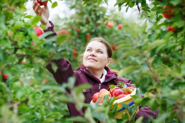 Young woman picking red apples in an orchard