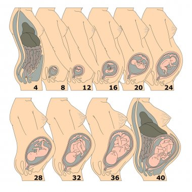 Growth of a human fetus in weeks