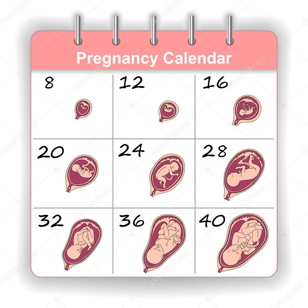 Calendar Method Illustration : Growth of a human fetus on weeks calendar in vector
