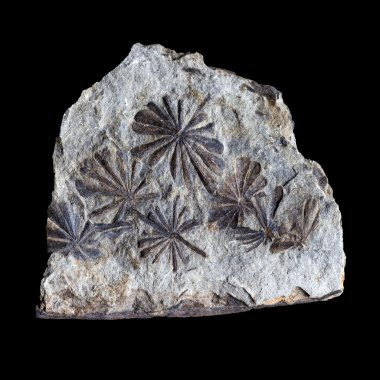 A group of fossilized flowers, isolated on a black background
