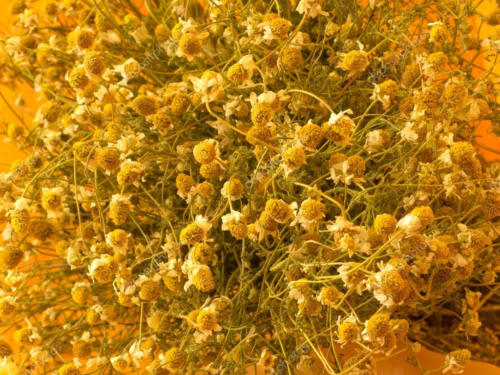 Dried chamomile on tissue