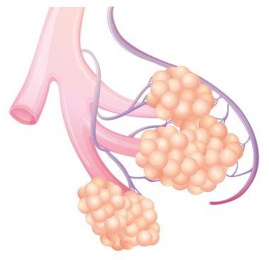 Pulmonary alveolus