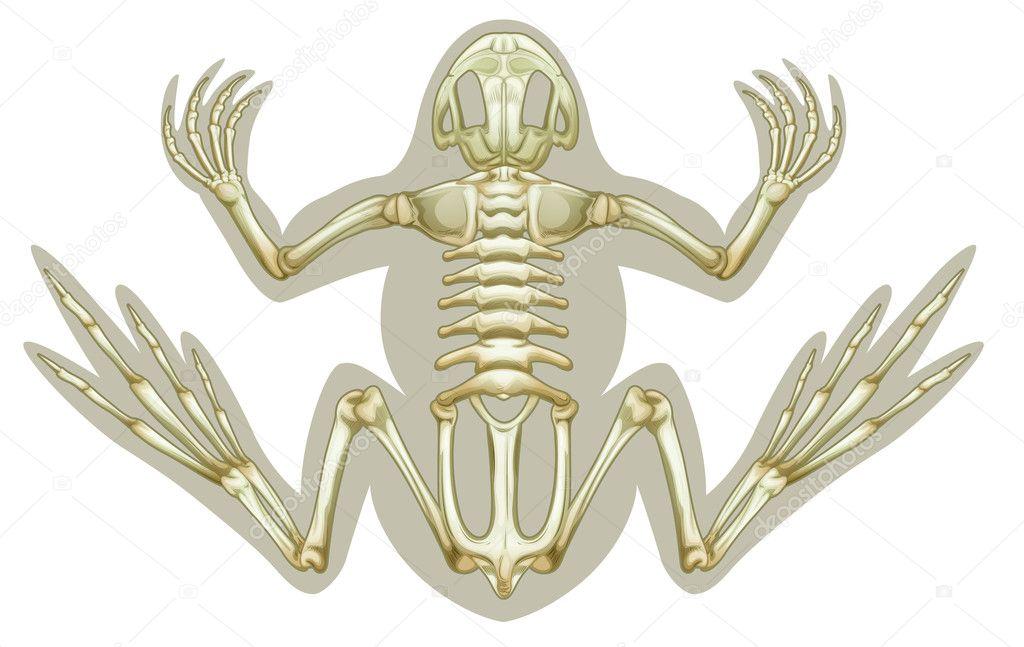 Frosch-Skelett-Systems — Stockvektor © blueringmedia #14066631