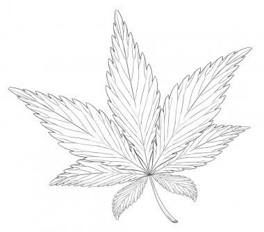 Leaf of the plant Cannabis sativa