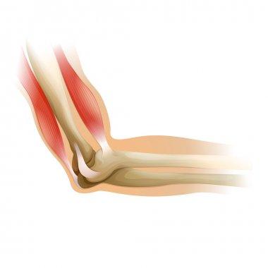 human elbow