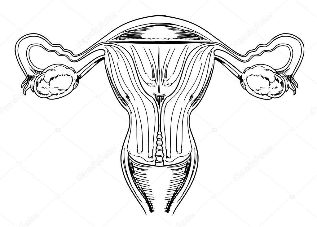 órganos genitales femeninos internos — Archivo Imágenes Vectoriales ...