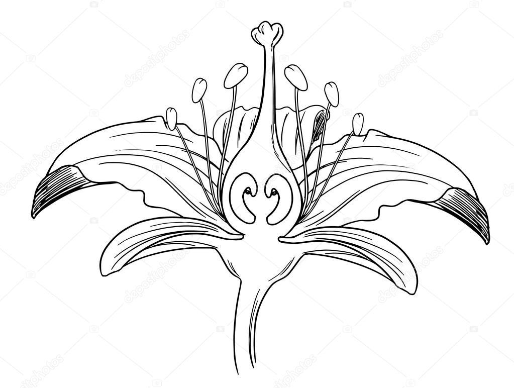 Tiger Lily Flower Outline Stock Vector Blueringmedia 16809459