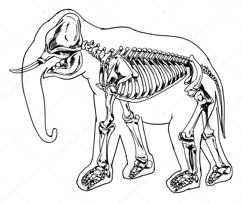 esqueleto elefante — Vector de stock © blueringmedia #16809571