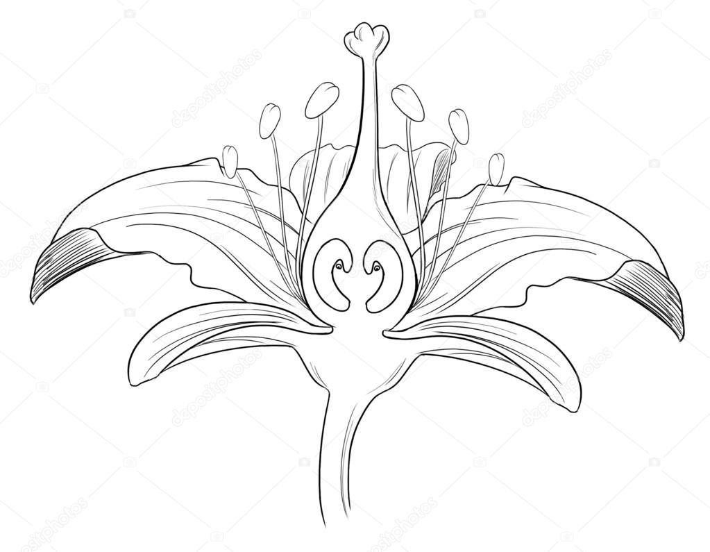 Tiger Lily Diagram
