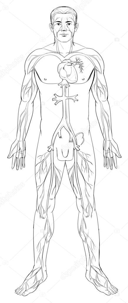 sistema circulatorio  u2014 archivo im u00e1genes vectoriales  u00a9 blueringmedia  16815121