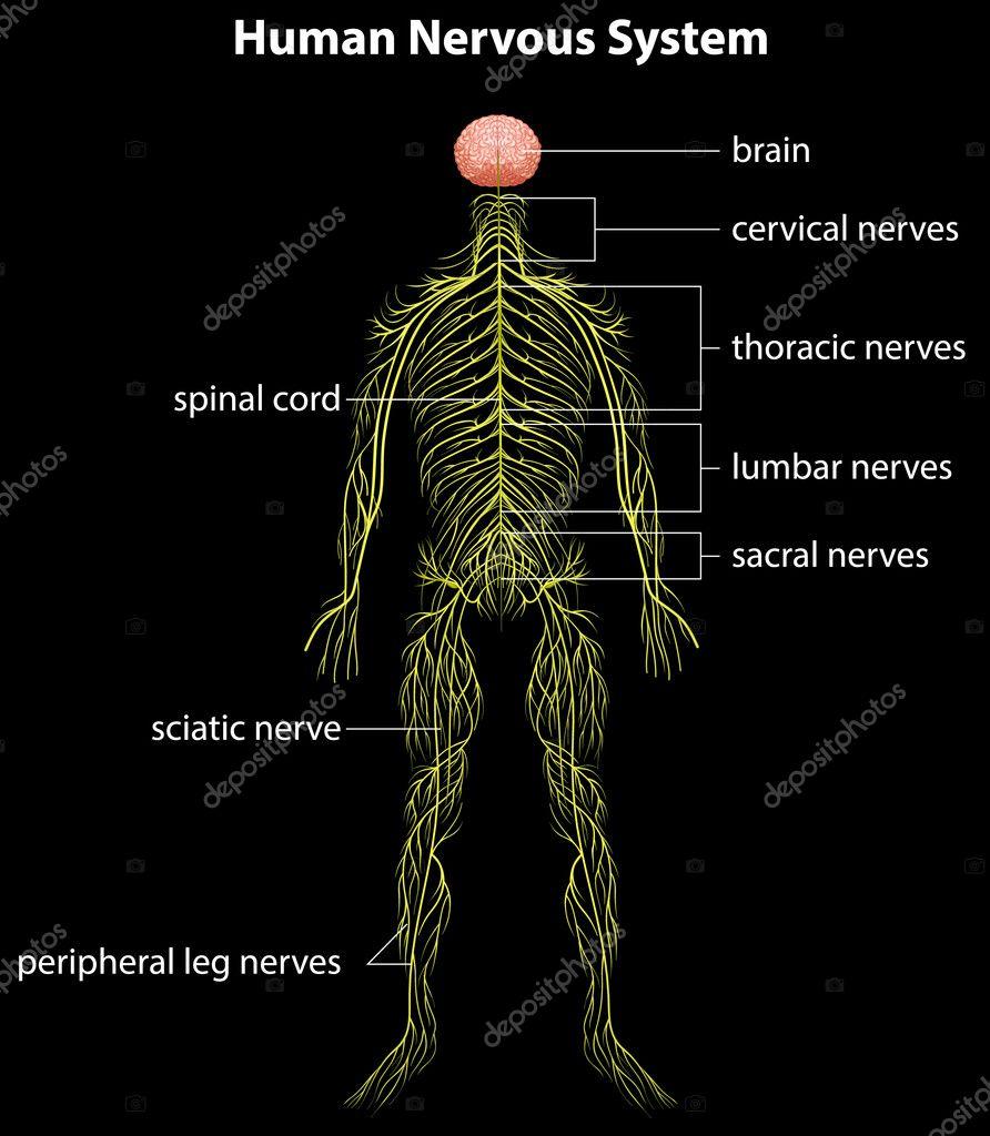 menschliche Nervensystem — Stockvektor © blueringmedia #17818731