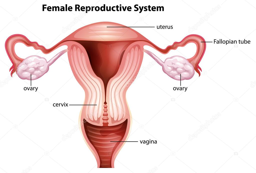 Female Reproductive System Stock Vector Blueringmedia 17818741