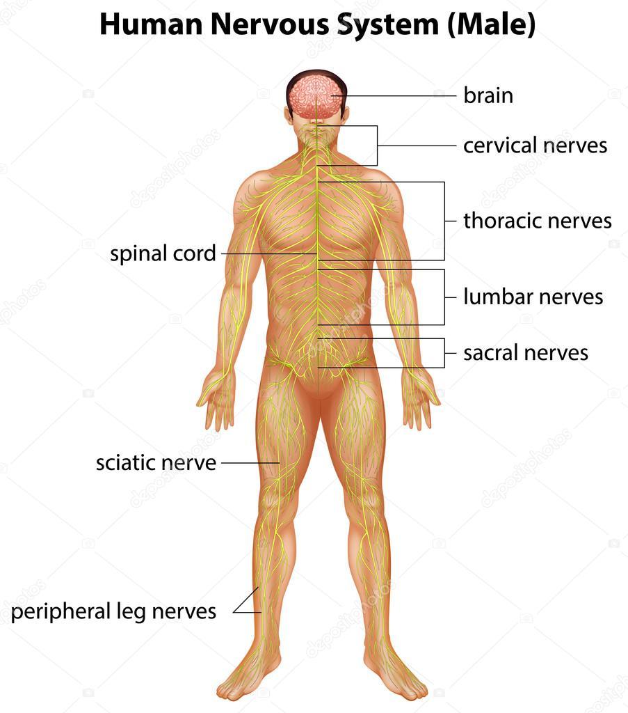 Human Nervous System Stock Vector Blueringmedia 25790371