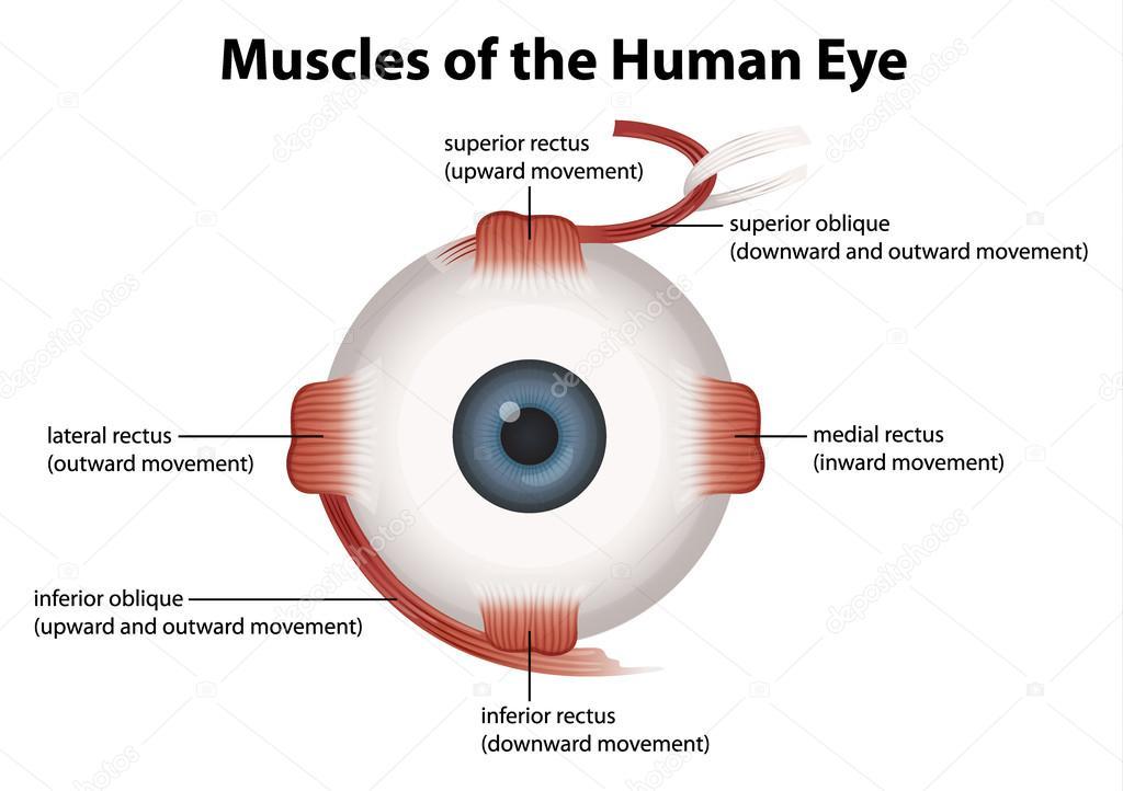 Ojo humano — Vector de stock © blueringmedia #25822907