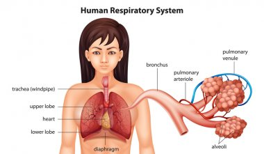 Female human respiratory system