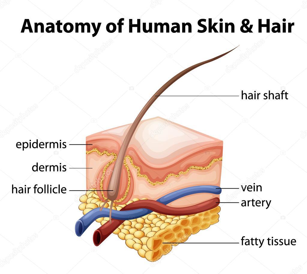Anatomie der menschlichen Haut und Haar — Stockvektor ...