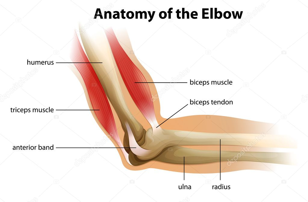 Anatomie des menschlichen Ellenbogens — Stockvektor © blueringmedia ...