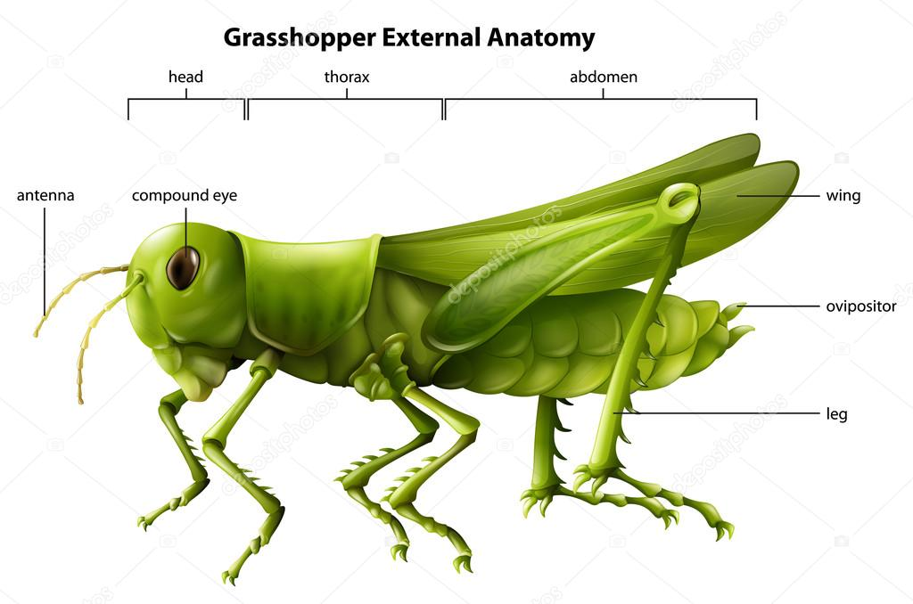 External anatomy of a grasshopper — Stock Vector © blueringmedia ...