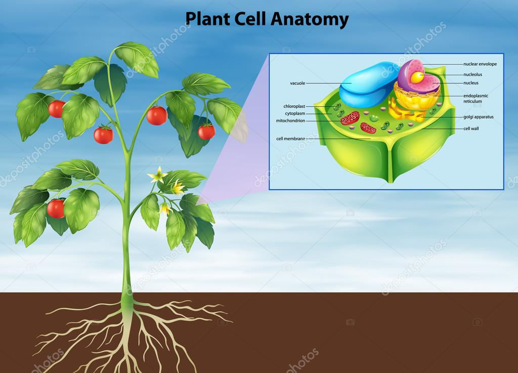 Anatomy Of The Plant Cell Stock Vector Blueringmedia 26395353