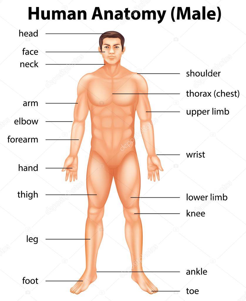 partes del cuerpo humano — Vector de stock © blueringmedia #26395365