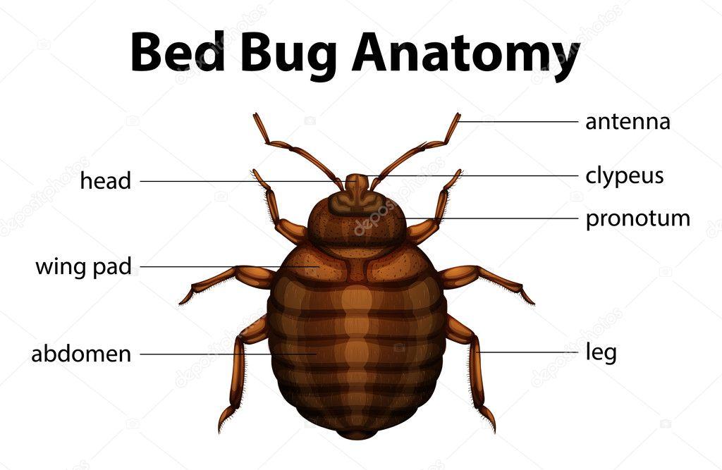Bed Bug Anatomy — Stock Vector © blueringmedia #26395435