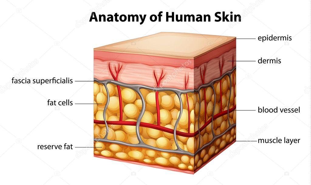 Human skin anatomy — Stock Vector © blueringmedia #26395589