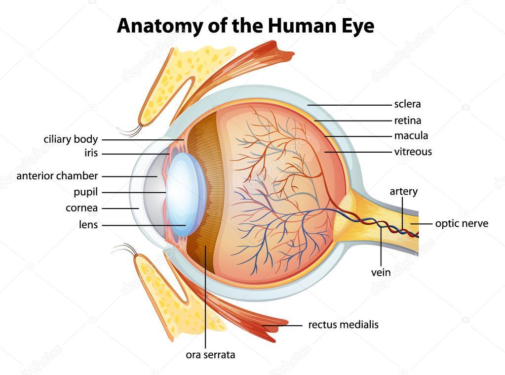 Human eye anatomy — Stock Vector © blueringmedia #26395697