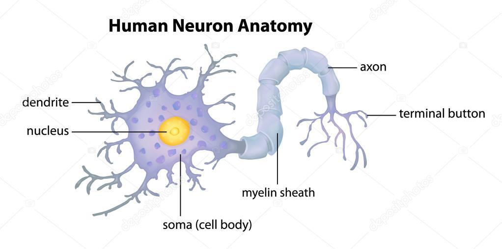 Anatomie der menschlichen neuron — Stockvektor © blueringmedia #26395767