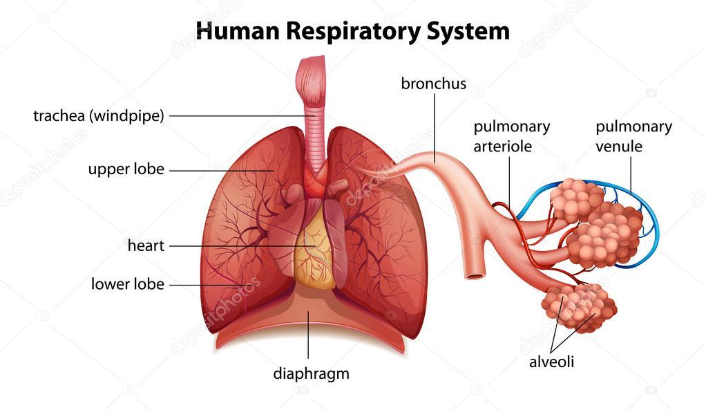 Human Respiratory System Stock Vector C Blueringmedia 26395865