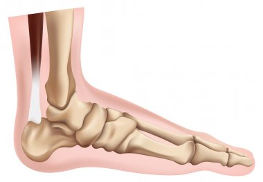 Skeleton of the Foot
