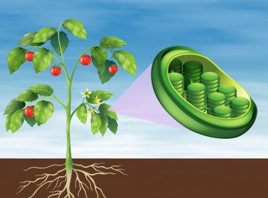 Chloroplast in plant