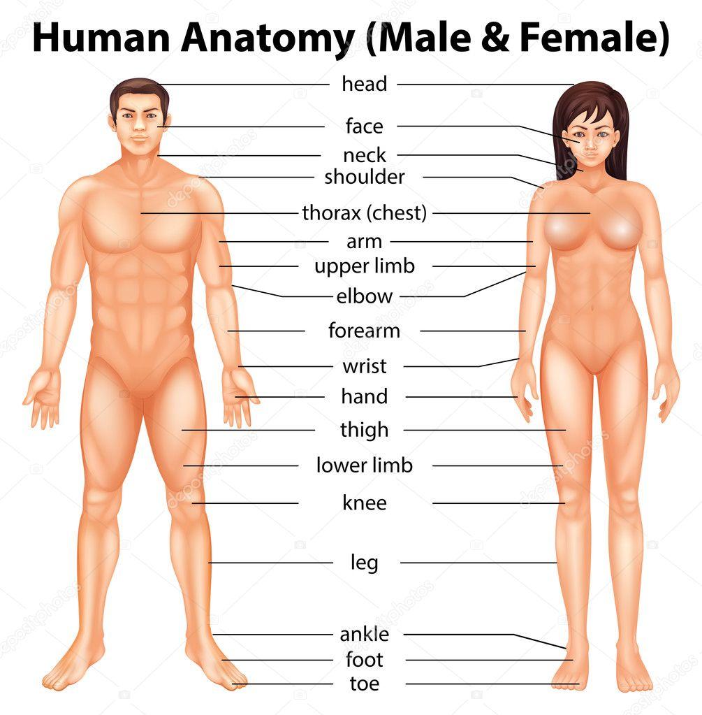 Menschliche Körperteile — Stockvektor © blueringmedia #27770633