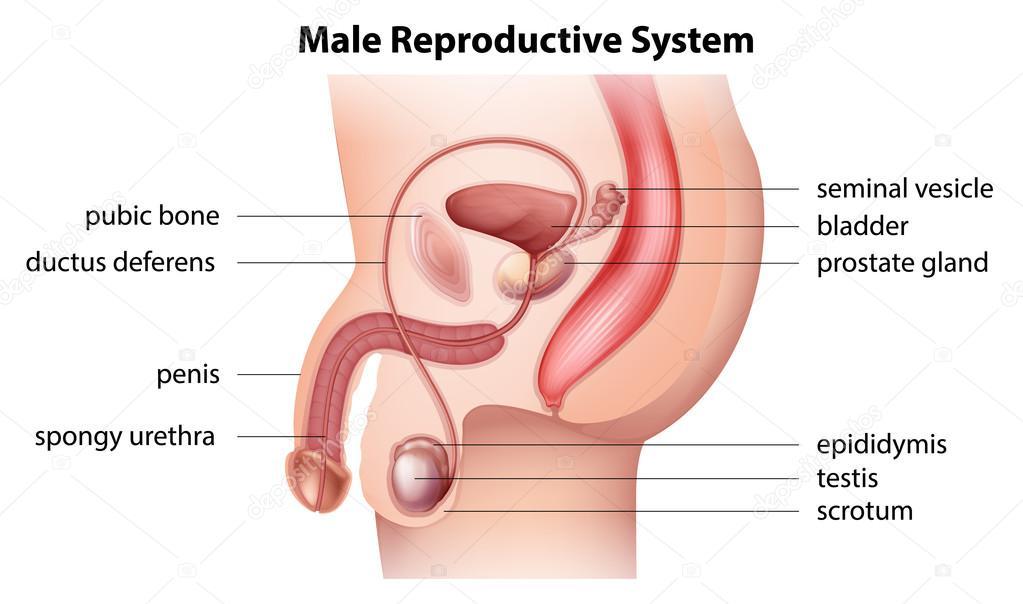 Male Reproductive System Stock Vector Blueringmedia 27770763